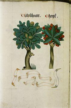 MRM Bodl lib. MS.Ashmole 1504. Trees --walnut-cherry Eng. Norfolk 1530 Tudor Pattern Book | Flickr - Photo Sharing!