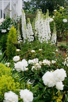 ~A vignette of white delphinium stalks, peonies, and roses. White Perennial border...~