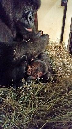 Nasce em BH mais um gorila, o segundo nascido na América do Sul