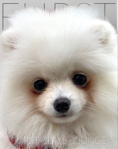 Dog Grooming Salons, Pomeranian Puppy, Luxury Spa, Daydream, Photo Galleries, Puppies, Gallery, Dogs, Animals
