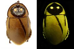 Photograph of a new, light-mimicking cockroach iLucihormetica luckae/i in daylight and under fluorescent light. Notable are two luminescent lanterns and one minor asymmetrical lantern on the right side. The species is likely extinct %u2014 its only known habitat was destroyed by the eruption of Tungurahua in December 2010.