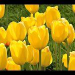 Tulip Conqueror