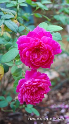 To get vibrant rose blooms like these this summer, prune in the very early spring, according to Oklahoma gardener Dee Nash. A detailed pruning tutorial can be found at her blog, Red Dirt Ramblings.    @deeanash