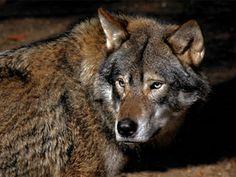 A3veen — Wolf in Nederland wordt beschermde diersoort