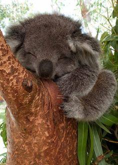 koala tierna