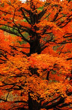 Tree of Orange, Sterling, Massachusetts. I would like to see Fall foliage this beautiful in person. Seasons Of The Year, Belle Photo, Beautiful World, Beautiful Places, Autumn Leaves, Autumn Trees, Autumn Cozy, Autumn Forest, Mother Nature