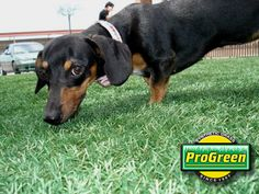Progreen has designed an artificial turf system specifically tailored to meet the needs of dogs. We have the artificial grass for backyards, dog runs, kennel Pet Grass, Dog Runs, Little Monsters, Dog Love, Dachshund, Pets, Backyard Ideas, Advertising, Animals
