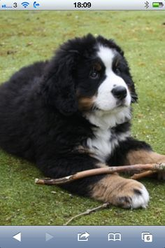 Bernese mountain dog puppy, 9 weeks old.
