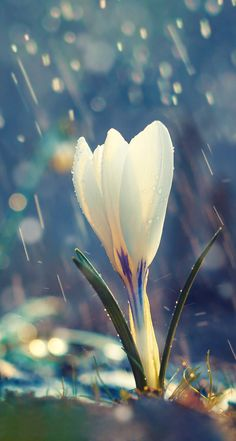 Find Single Flower White Crocus Spring Rain stock images in HD and millions of other royalty-free stock photos, illustrations and vectors in the Shutterstock collection. Thousands of new, high-quality pictures added every day. Flowers Nature, Spring Flowers, White Flowers, Flower Wallpaper, Nature Wallpaper, Beautiful Wallpaper, Trendy Wallpaper, Qhd Wallpaper, No Rain No Flowers