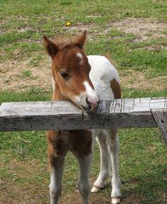 tiny miniature pony | Home - Miniature Horses And Custom Made Mini Tack