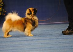 He was robbed at the National Dog Show 2012! This is my next breed to invest in and I want two of them (my own little foo dogs)...Tibetan Spaniel <3