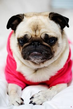 Move over Grumpy Cat. Here is Grumpy Pug. but still gorgeous.