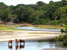 Forest buffalo drinking in Gabon
