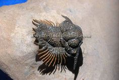 lobopyge, high quality of spiny trilobite for sale