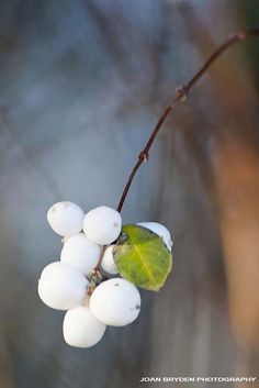 I also would love to plant snowberries in the 2014 garden.