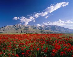 Field of flowers, around Lake Van, Turkey