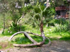 cool looking palm Unbelievable Pictures, Unusual Plants, Tree Trunks, Tree Forest, Flowering Trees, Wood Sculpture, Tree Art, Tree Of Life, Garden Bridge