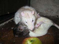 Rapport de dominance entre rats Les Rats, Rodents, Mice, Angel, Babies, Sweet, Dumbo Rat, Cute Memes, Animaux