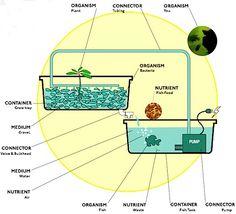 Aquaponics to grow greens and tilapia harmoniously.
