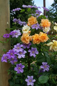 Clematis 'Ashva' climbing up Rosa 'Autumn Sunset,' Clematis are wonderful combined with roses! (All Things Plants)