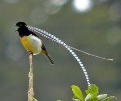 King of Saxony bird of Paradise