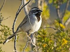 Black throated sparrow - year round in the deserts of western US/Mexico