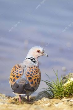 Colorful Cute Bird Turtle Dove Nature Background Bird European Turtle - S , Dove Pigeon, Mourning Dove, Turtle Dove, Dove Bird, Cute Birds, Birds In Flight, Animal Kingdom, Photo Library, Nature