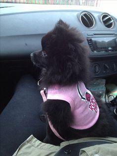 #pomeranian #black #dog #puppy