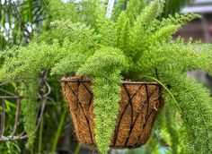 Nice hanging basket of asparagus fern. Arum Lily, Indoor Flowers, Hanging Plants, Plants, Plants For Hanging Baskets, Foxtail Fern, Hanging Pots, Asparagus Fern, Drought Tolerant Plants