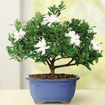 Gardenia Small Bonsai Tree
