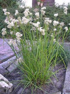Siergras Luzula Nivea veldbies bloeit in juni-juli wintergroen 40 cm schaduw / halfschaduw