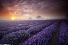 The smell, the color...breathtaking!Dawn over lavender fields in Faulkland, Somerset. Photographer Antony Spencer
