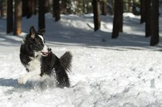 Border Collie + Snow = FUN
