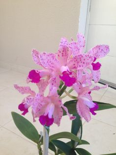 Cattleya Ametystoglossa - 8 flores