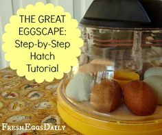 The Great Eggscape - Day by Day Hatch Tutorial