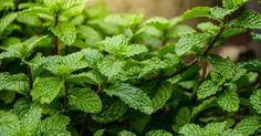 Spearmint VS Peppermint Plants: Which Is Which? Shade Tolerant Plants, Shade Plants, Holistic Nutrition, Health And Wellness, Peppermint Plants, Growing Mint, Modern Farmer, Strawberry Planters, Medicinal Plants