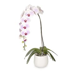 The greenest Orchid finger I've ever seen! Super Luxury Orchid Plant In Ceramic