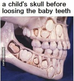 A child's skull before losing baby teeth. Cool and creepy. More creepy than cool. Waaaayyyyyy more creepy.