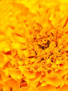 by Sally Pollard on Etsy Flower Photography, Maternity Photography, Shades Of Yellow, Color Yellow, Yellow Things, Wedding Reception Venues, Marigold, Sally, Heavenly