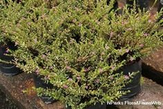 Cuphea hyssopifolia-细叶雪茄花, 满天星-moderate water-0.6x0.6 Sun Plants, Flora And Fauna, Plants Sunny, Outdoor Plants