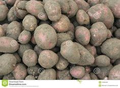 Lots of potatoes with earth