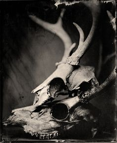 Deer skulls -Wet Plate Collodion Photography by JustinBorucki