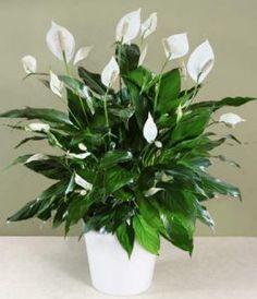 Spathiphyllum O famoso lírio da paz. Se você é do tipo que esquece de regar as plantas e quer uma que não precise de sol, esta é a melhor solução.