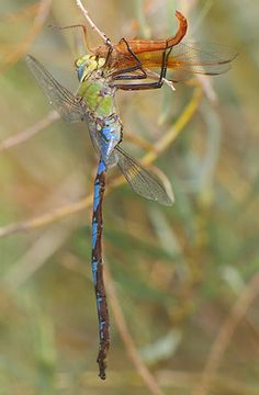 Giant darners are the biggest dragonflies in North America and among the biggest worldwide. They generally resemble the smaller common green darner (A. ...