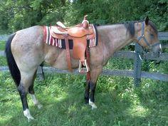 Rhinestone Hotshot - Bay Roan Quarter Horse Gelding  Bay Roan Quarter Horse… Horse Saddles, Horse Tack, Western Pleasure Horses, American Quarter Horse, Blue Roan, All The Pretty Horses, Horse Love, Westerns, Dancer