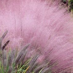 Pink Muhly Grass looks average until the flowers come in autumn...then get ready for EVERYONE to ask you what that pink thing is blooming in your yard!!!!