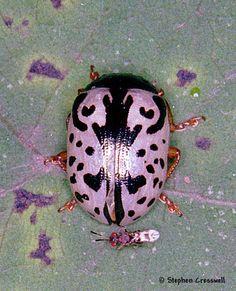 Elm Calligrapha Beetle Calligrapha scalaris