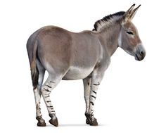 African wild ass on white background. equine - donkey