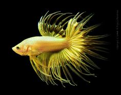 gold crowntail by louie imaging, via Flickr