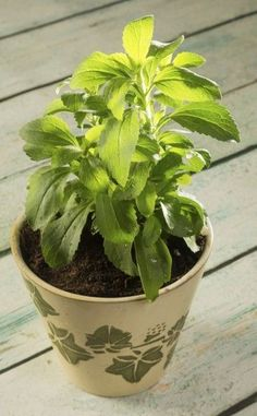 Growing Stevia Plants In Winter: Can Stevia Be Grown Over Winter - Growing stevia isn't difficult, but overwintering stevia plants can present challenges, especially in northern climates. For more information on how to overwinter stevia, click on the following article.